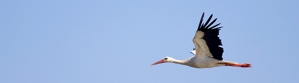 Storch im Flug, Foto: Colourbox